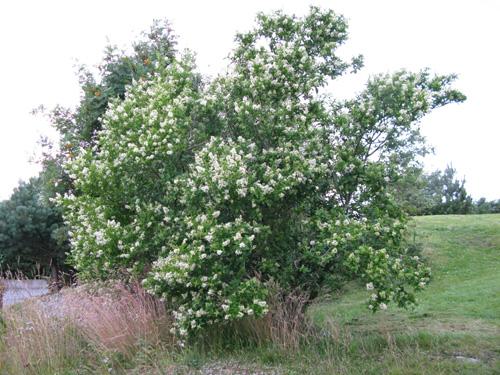 Høye busker